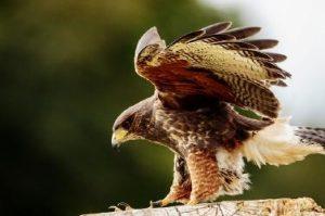 むぎわらたからもの猛きん類の羽